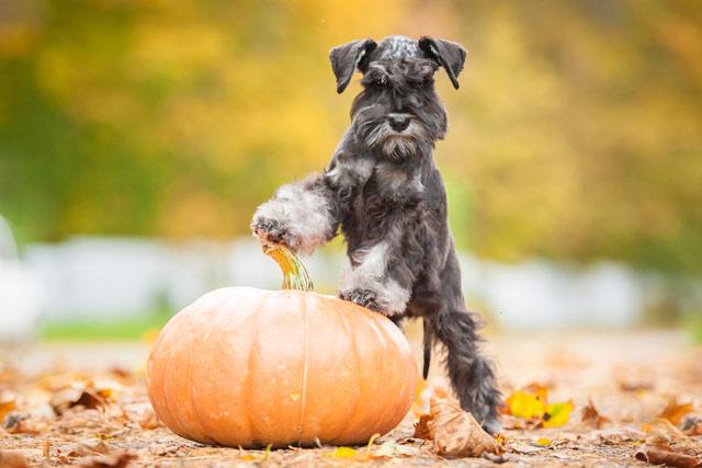 thanksgiving - dog safety